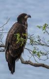 Unga skalliga Eagle Royaltyfria Foton