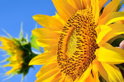 Unga solrosor blommar i fält mot en blå himmel Arkivbild