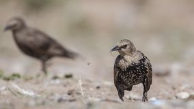 Unga Starling Looking Left arkivbilder