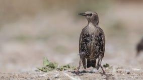 Unga Starling Perching på jordning royaltyfri bild