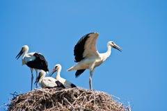 unga storks Royaltyfri Foto