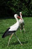unga storks Arkivbilder