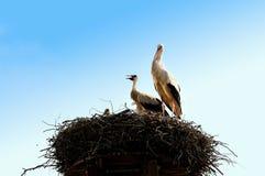 unga storks Royaltyfria Bilder