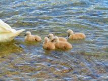 5 unga svanar royaltyfri foto