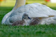 Unga svanar för stum svan som får stoppade om Royaltyfria Foton
