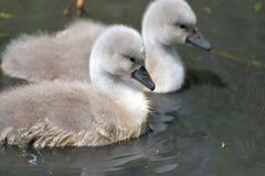 Unga svanar på den Abbotsbury swanneryen Royaltyfria Bilder