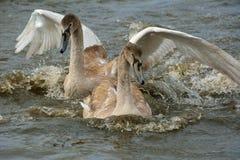 Unga svanar på floden Royaltyfri Bild
