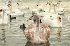 Unga svanar på sjön royaltyfria bilder