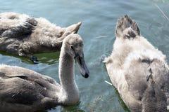 Unga svanar på sjön royaltyfri foto