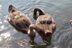 Unga svanar på sjön arkivbilder