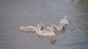 Unga svanar seglar över sjön och jagar i vattnet arkivfilmer