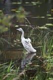 Unga svanen på banken av sjön arkivbild