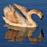 Unga svanen reflekterade i vattnet av sjön Balaton fotografering för bildbyråer