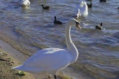 Unga svanen som ser mig och, står upp Royaltyfria Bilder