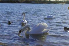 Unga svanen som ser mig och, står upp Royaltyfria Foton