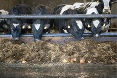 Unga svartvita kor i stall i holland Fotografering för Bildbyråer