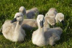 unga swans Arkivfoto