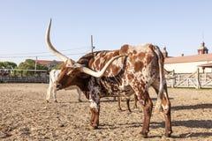 Unga Texas Longhorn Steer Royaltyfri Bild