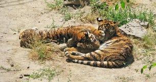 Unga tigrar vilar Royaltyfri Foto