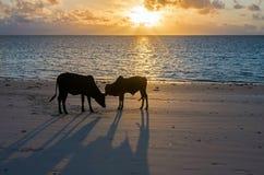 Unga tjurar på gryning på havkusten tanzania zanzibar royaltyfria bilder