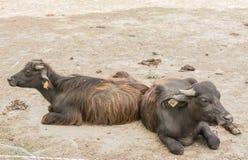 Unga tjurar på vilar arkivfoto