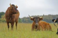 Unga tjurar som vilar i ett sommarfält Codicote hertfordshire bygd royaltyfri foto