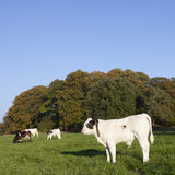 Unga tjurcalfs och ko i grön äng med kon Arkivfoton