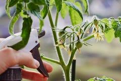 Unga tomater som inomhus växer på en fönsterbräda och en att bry sig hand med en sprejflaska, fyllde med vatten royaltyfria bilder