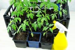 Unga tomatplantor i en ask på fönsterbrädan och den gula sprejen royaltyfria foton