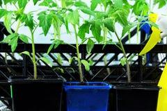 Unga tomatplantor i en ask på fönsterbrädan och den gula sprejen Arkivfoton
