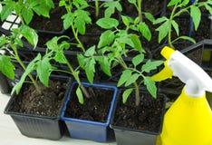 Unga tomatplantor i en ask på fönsterbrädan och den gula sprejen Royaltyfri Foto