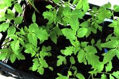 Unga tomatplantor i en ask på fönsterbrädan och den gula sprejen Royaltyfri Bild