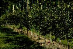 Unga träd för fruktträdgårdäpplelantgård i upstate New York arkivbilder