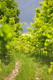 Unga träd i skogen och vägen Fotografering för Bildbyråer