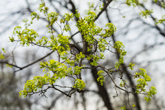 Unga trädfilialer närbild, begrepp av den tidiga våren, säsonger, väder Modern naturlig tapet- eller banerdesign Royaltyfria Foton