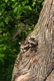 Unga tvättbjörnar (Procyonlotor) petar huvud ut ur träd Arkivbild