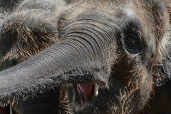 Unga två och håriga Sumatra elefanter som försöker att nå något med stammar arkivfoton