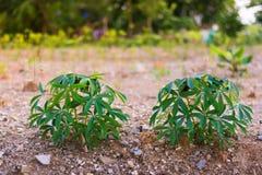 unga växande växter Royaltyfria Bilder