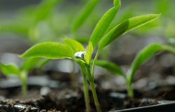 Unga växter Arkivbild