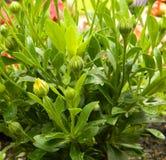 Unga växter, afrikanblommor Royaltyfri Foto