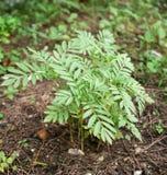 Unga växter för ringblomma Arkivbild