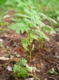 Unga växter för ringblomma Royaltyfria Foton