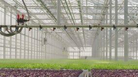 Unga växter som växer i mycket stor växt i kommersiellt växthus arkivfilmer