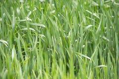 Unga veteplantor som växer i ett fält Grönt vete som växer i jord Stäng sig upp på att spira råg som är jordbruks- på ett fält royaltyfri fotografi