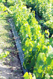 Unga vingårdar Arkivfoto