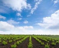 Unga vingårdar Arkivfoton