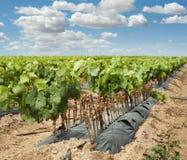 Unga vingårdar i rader. Fotografering för Bildbyråer