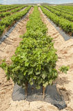 Unga vingårdar i rader. Royaltyfri Foto