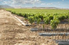 Unga vingårdar i rader. Arkivfoto