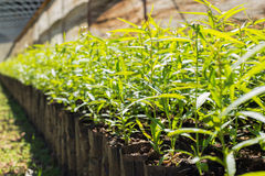 Unga växter i små svarta plastpåsar Arkivfoton